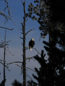 Bald Eagle in the early morning light on a Snow Coach Tour in Yellowstone National Park