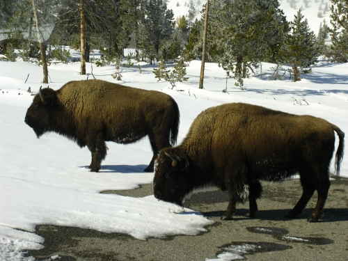 Bison grazing in Yellowstone during the winter.