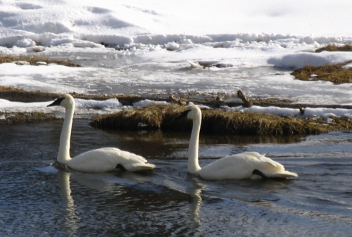 Trumpeter Swans swimming in winter waters in Yellowstone National Park