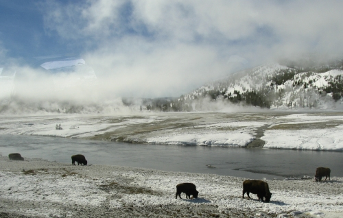 Bison in Yellowstone National Park - they come to this area to dig in the sink holes.